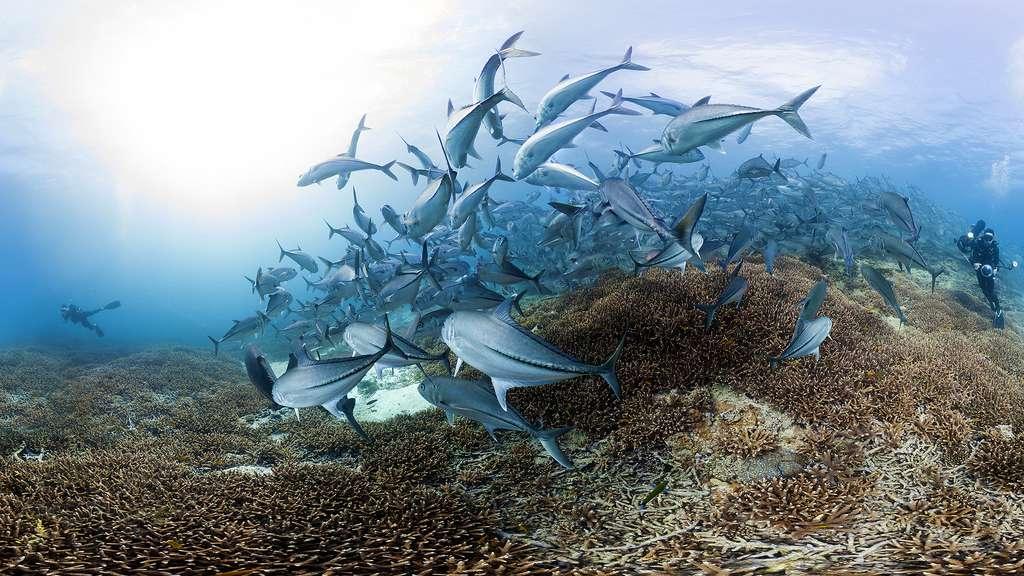 Un banc de poissons près de l'île Lady Elliot