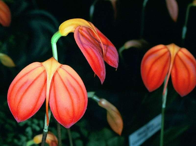Orchidée Masdevallia ignea