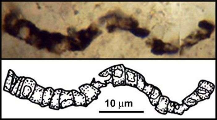 L'un des filaments carbonés observés dans une lame mince de la roche de l'Apex Chert. S'agit-il bien d'un microfossile ? © J. William Schopf, UCLA