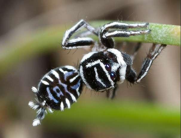 Cette nouvelle espèce (Maratus sceletus) étonne les scientifiques avec son dessin ressemblant à un squelette, les araignées paons étant connues pour leurs couleurs flamboyantes. © Jürgen Otto