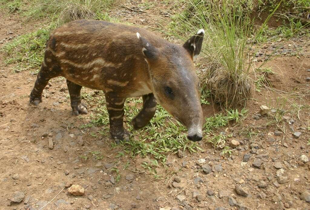 Tapir de Baird juvénile. © brian.gratwicke, Flickr, cc by nc 2.0