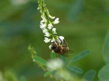 Une abeille sur un mélilot. © Sylvie Nomblot, DR