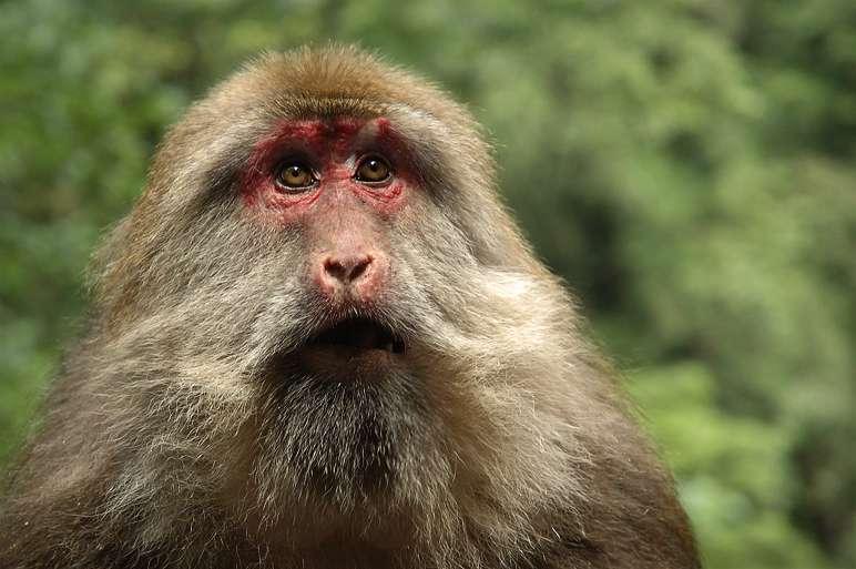 Macaque du Tibet. © PlasticTV, GNU FDL Version 1.2