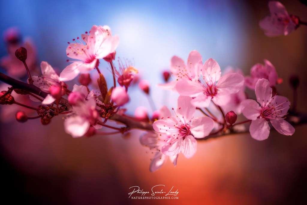 La fleur du cerisier, l'énergie du printemps