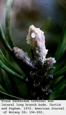 Pinus term. © Curtis et al. Iowa SU, domaine public