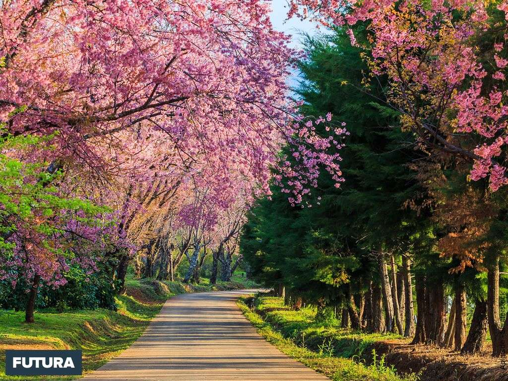 Printemps : les cerisiers du Japon en fleurs