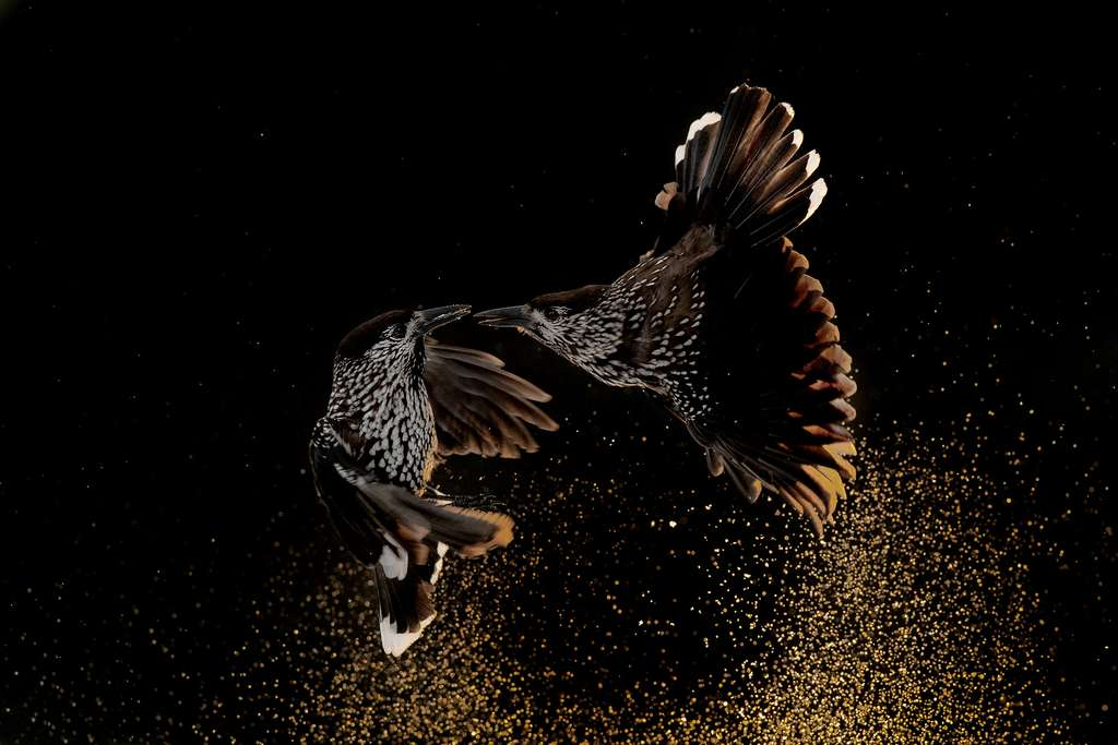 Cassenoix moucheté (Nucifraga caryocatactes). © Bird Photographer of the Year, Roelof Molenaar (Pays-Bas)