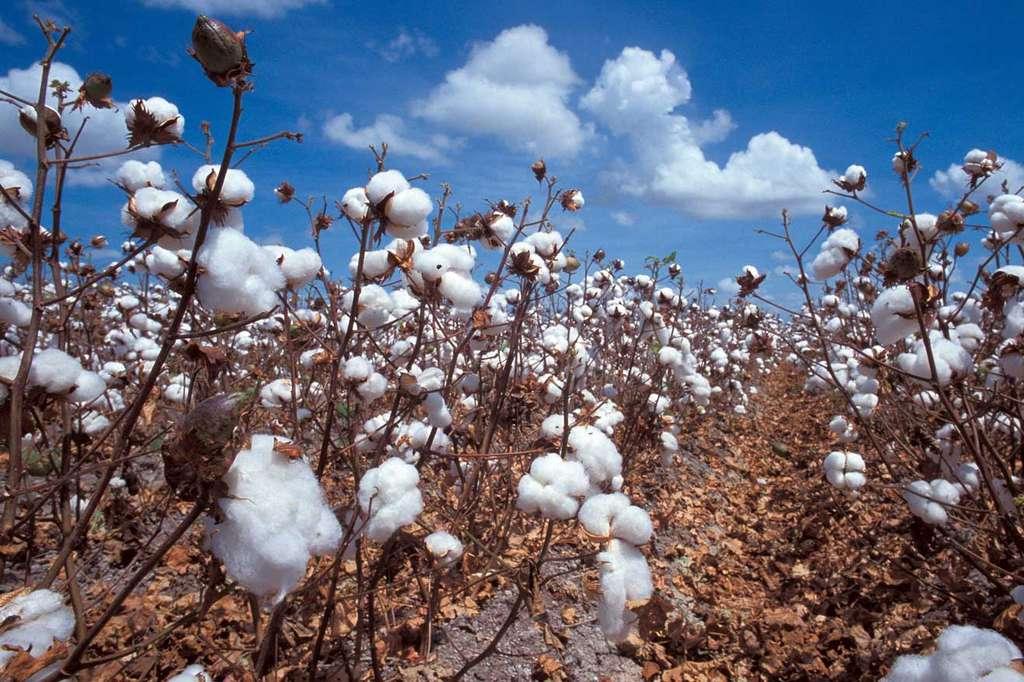 Moins connu que le maïs OGM, le coton aussi est utilisé dans les cultures OGM. © DR