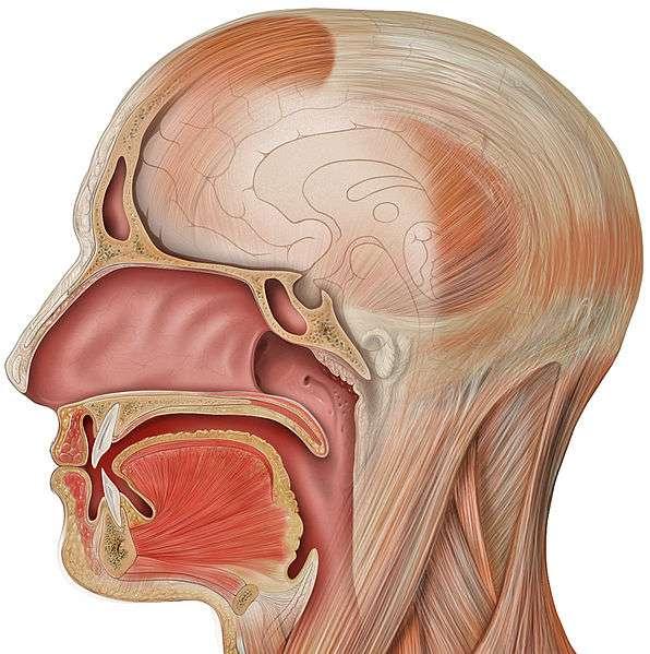Schéma en coupe de la cavité buccale. © Patrick J. Lynch, Wikipedia CC by 2.0