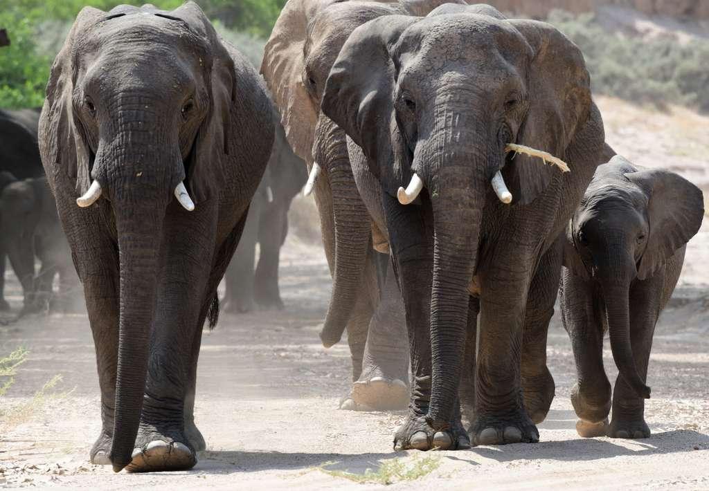 Faut-il ou non interdire le commerce de l'éléphant d'Afrique ? Les États sont divisés. © Russ Hoverman, iNaturalist