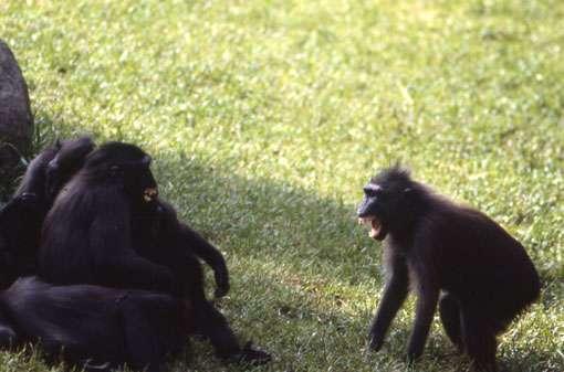 Deux femelles macaques à crête ont un conflit bidirectionnel. © Odile Petit - Reproduction et utilisation interdites