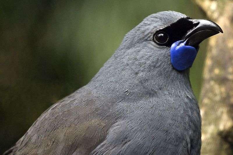Le glaucope cendré est l'un des oiseaux emblématiques de la Nouvelle-Zélande. Il figure même sur les billets de 50 dollars néo-zélandais. Son nom maori est kōkako, et l'oiseau est souvent mentionné dans cette culture. Il vole mal, et se déplace souvent en sautillant de branche en branche, se comportant un peu comme un écureuil. © Matt Binns, Wikipédia, CC by 2.0