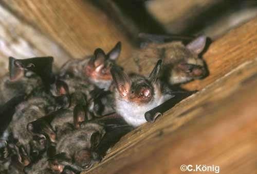La chauve-souris Grand Murin est un exemple de trogloxène. © König, DR