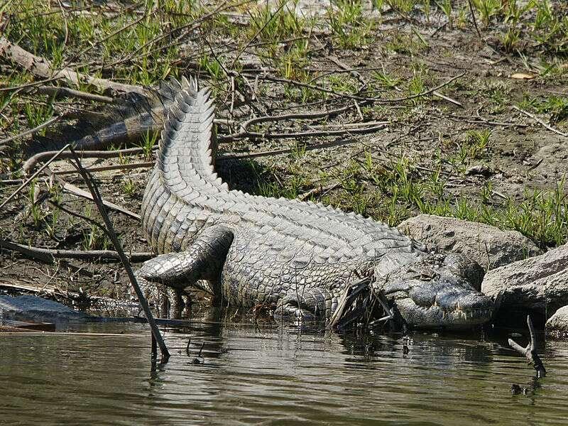 Crocodile du Nil (Crocodylus niloticus). © Hans Hillewaert, CC by-SA 3.0