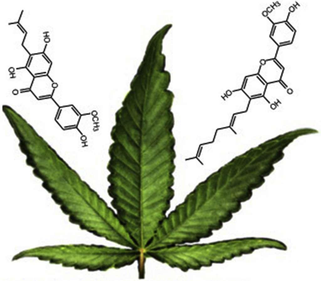 La cannflavine A et la cannflavine B sont présentes en petite quantité dans le cannabis et possèdent un puissant effet anti-inflammatoire. © Kevin Rea at al, Phytochemestry, 2019