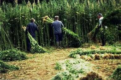 Récolte du chanvre par arrachage, dans la Sarthe. © Photo Epopée du chanvre - Sauvegarde des fours à chanvre