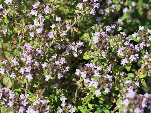 Fleurs parfumées du thym commun. © Tangopaso, Domaine public