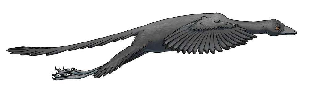 Une représentation possible de l'archéoptéryx en vol, en fonction des nouvelles données obtenues à l'ESRF. © Jana Růžičková