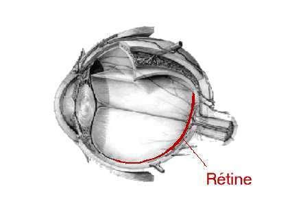 La rétine et le cerveau communiqueraient à la vitesse d'une connexion Ethernet (Crédits : www.ophtalmologie-paris.org)