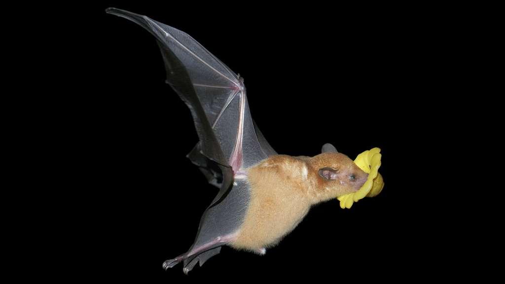 Une chauve-souris buvant le nectar d'une fleur