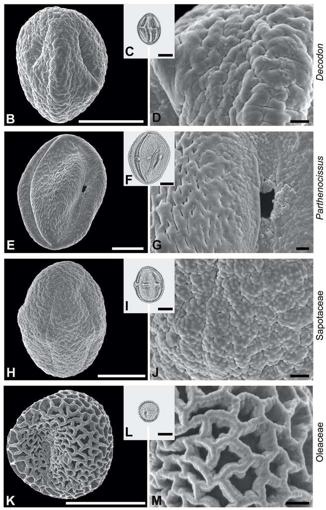 Le pollen de quatre familles de plantes primitives a été découvert dans l'estomac de la mouche. © Sonja Wedmann et al., Current Biology, 2021