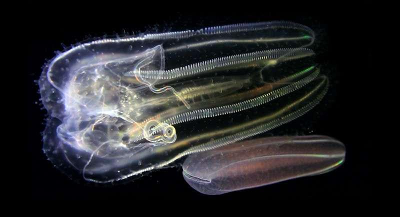 Les cténophores, les plus anciens animaux au monde