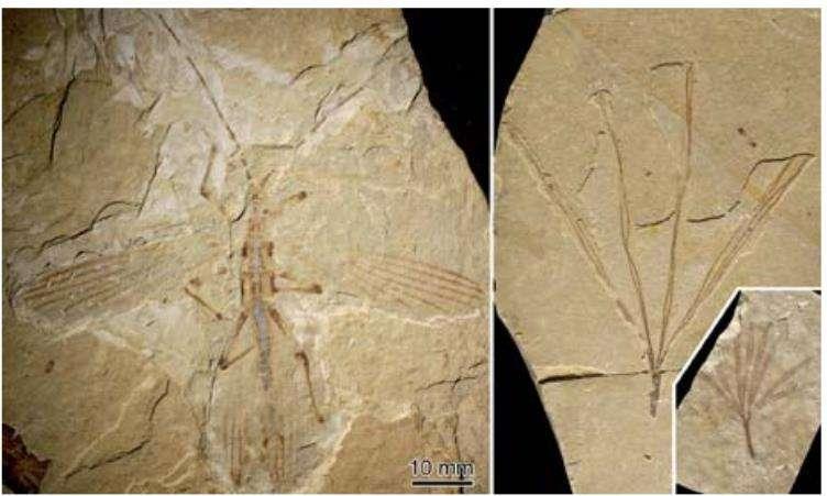 Le mimétisme fossilisé : à gauche, Cretophasmomima melanogramma et à droite une feuille de Membranifolia admirabilis. © MNHN/ O. Béthoux et F. Jacques