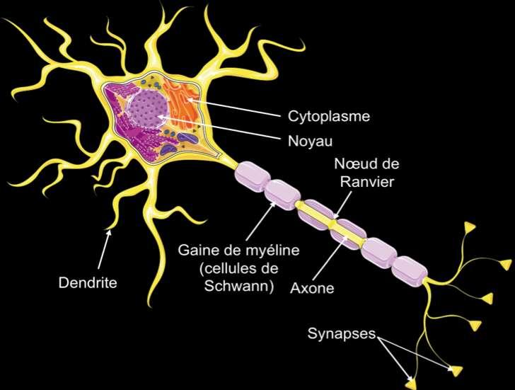 Schéma d'un neurone. Les neurones à sérotonine jouent un rôle sur le niveau d'anxiété et l'humeur. © Servier Medical Art