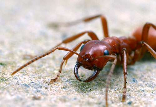 L'ouvrière de cette fourmi esclavagiste possède des mandibules qui sont des armes redoutables mais sont aussi capables de transporter délicatement les cocons de l'espèce pillée. © A. Wild