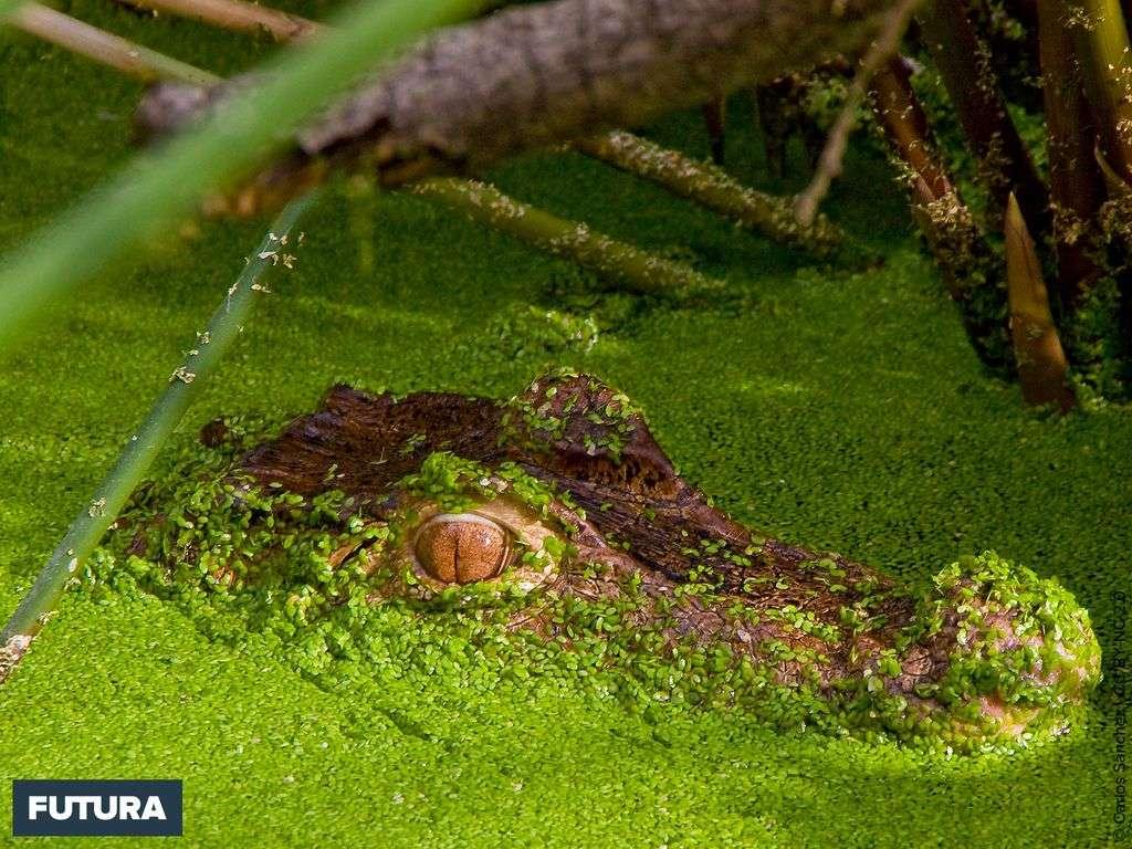 Caïman en camouflage