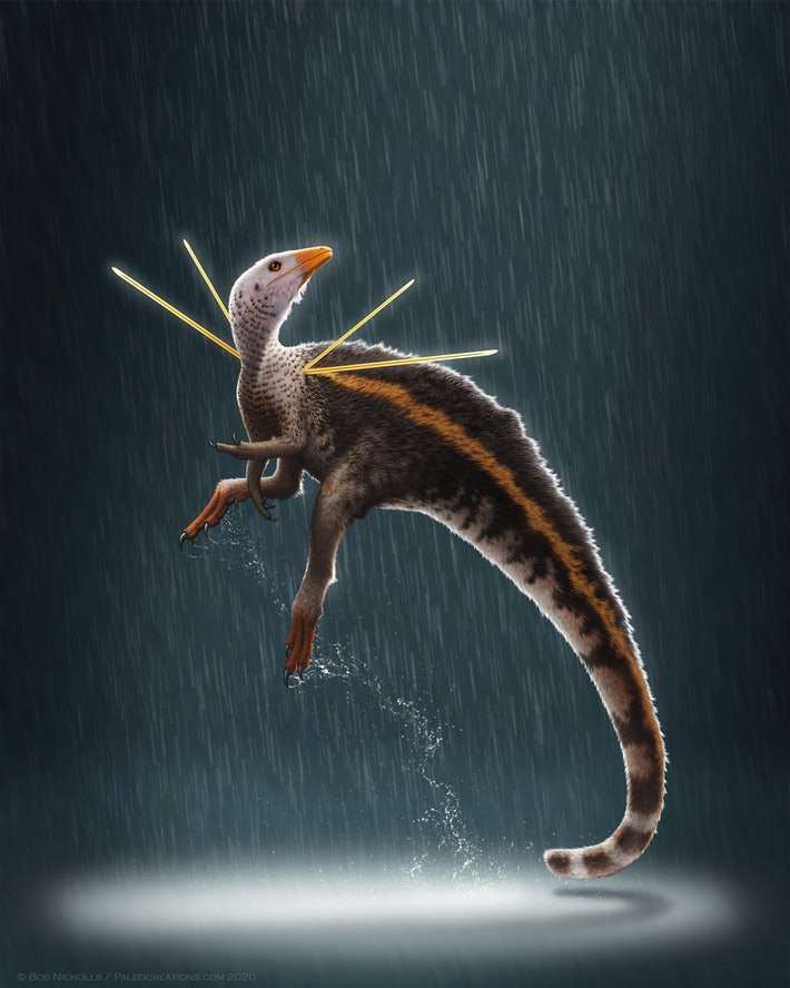 Ubirajara jubatus est nommé d'après un nom indien Tupi qui signifie « seigneur de la lance », en référence à ses structures tégumentaires, et jubatus, du latin « crinière » ou « comète chevelue ». © Bob Nicholls, Paleocreations.com 2020