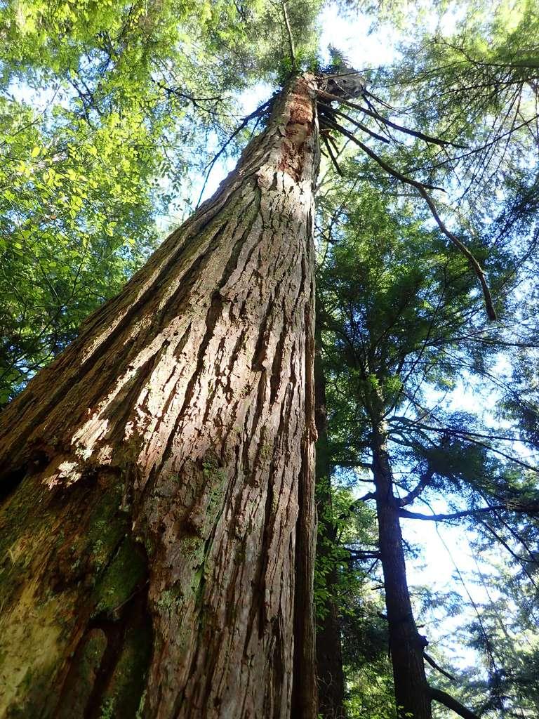 Au-delà d'une certaine taille, la pression devient trop faible dans les vaisseaux et l'arbre risque une embolie du xylème, l'obligeant à rétrécir ses cellules. © Metsa, iNaturalist