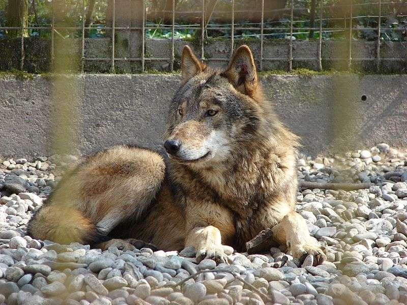Loup gris de l'Est. © Christian Jansky - CCA-S A 2.5 Generic license