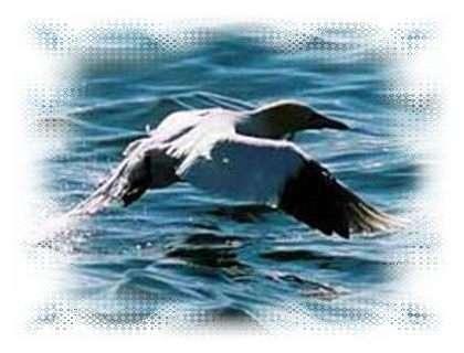 Fou de Bassan - littoral85.com ©2003