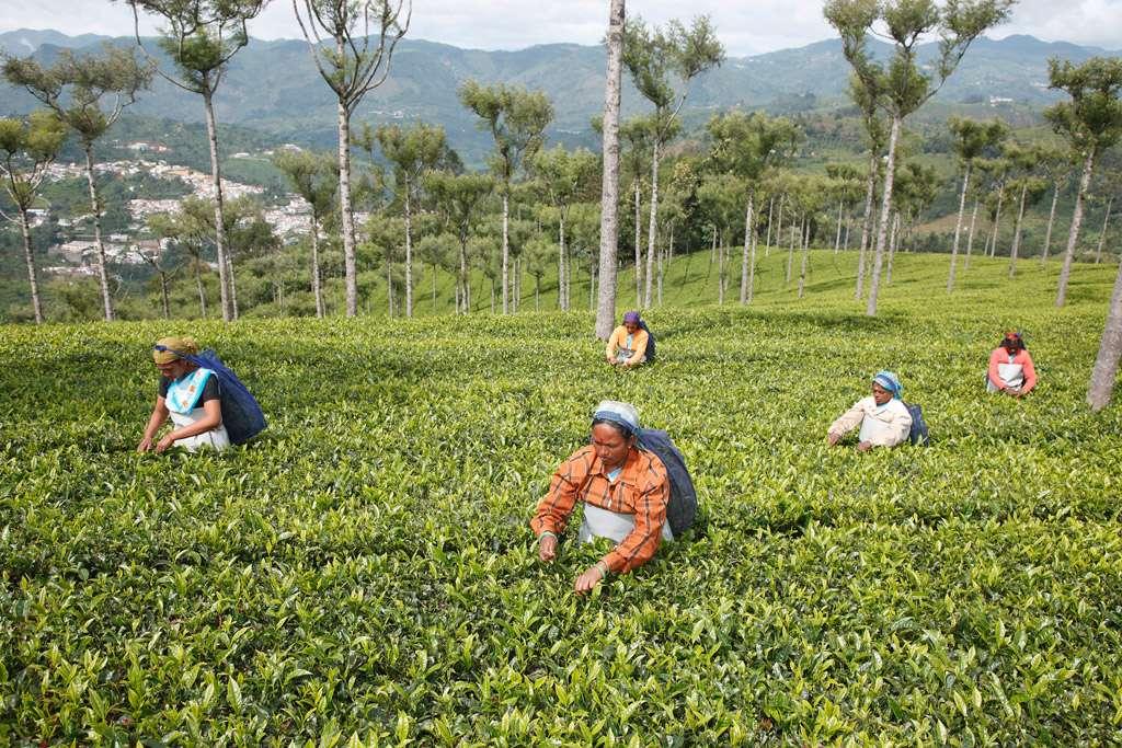 Les femmes, l'Inde et le thé