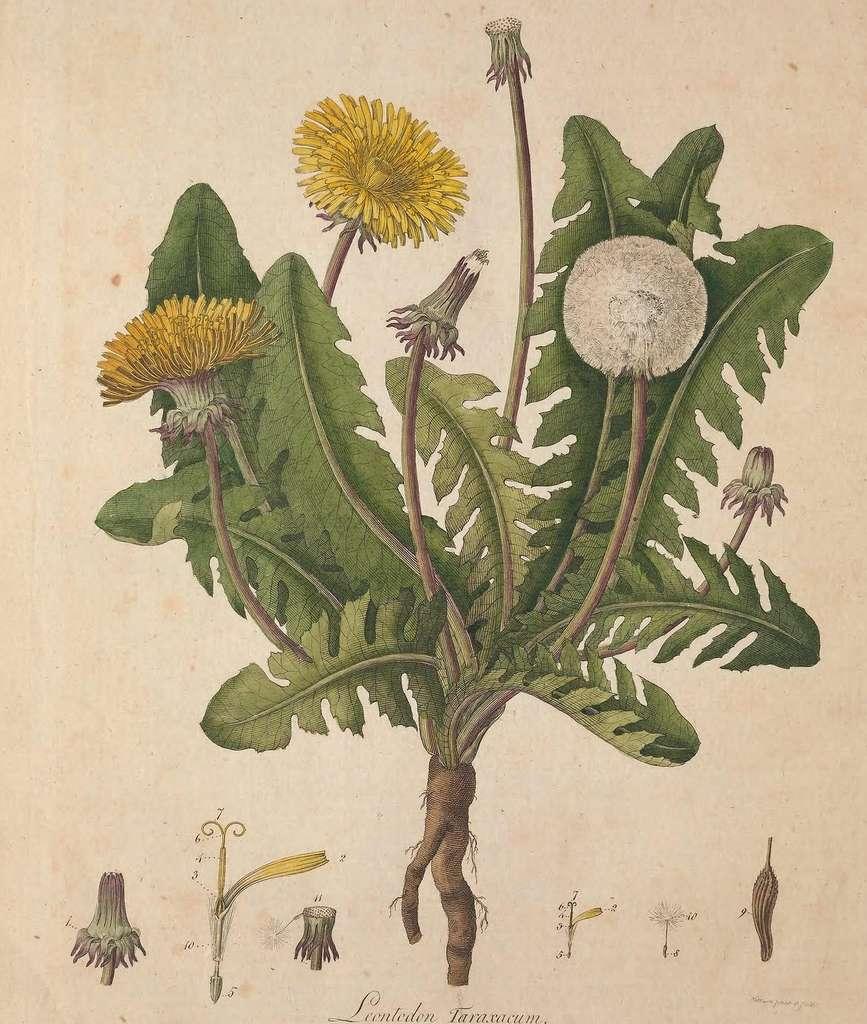 Racines, feuilles, fleurs et tiges s'utilisent pour fabriquer le purin de pissenlit. © BHL, Domaine public