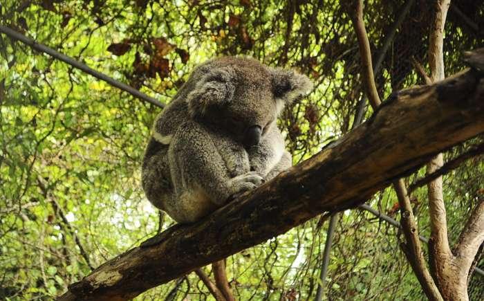 La journée, les koalas apprécient prendre du repos dans des arbres tels que les Brachychiton ou les Casuarina cristata. Ils couvrent principalement leurs besoins en eau en consommant les feuilles d'eucalyptus, ce qui leur évite d'avoir à descendre des arbres, au risque de rencontrer un prédateur. © indeliblemistakes, Flickr, cc by sa 2.0
