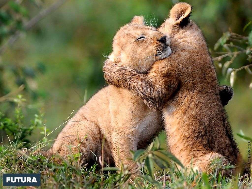 L'heure du jeu pour les lionceaux
