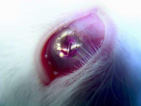 Placement de la lentille sur l'œil d'un lapin. © DR