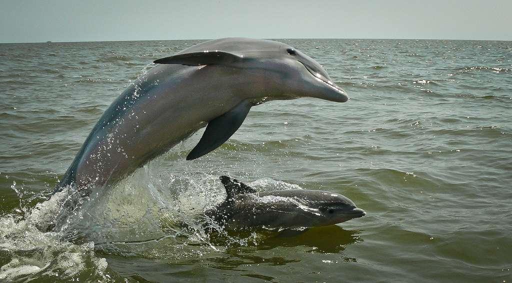 Le grand dauphin, qui vit dans tous les océans tempérés et tropicaux, est capable d'imiter les sifflements d'autres cétacés. © Jual, Flickr, cc by nc sa 2.0
