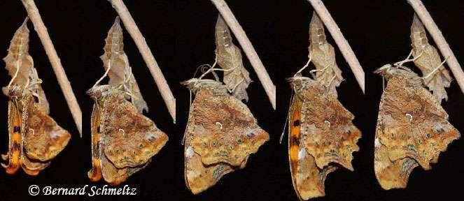 Le papillon déploie ses ailes. © Bernard Schmeltz
