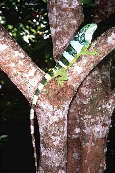 Brachylophus bulabula. Crédit : US Geological Survey & prof. Robert Fisher