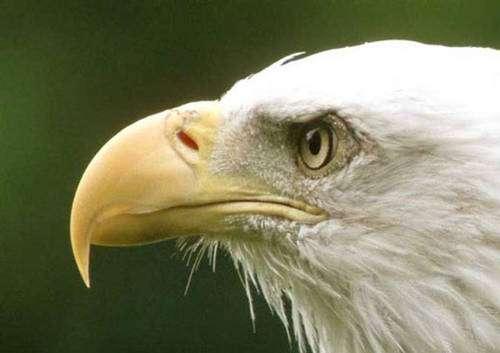 L'aigle possède une acuité visuelle impressionnante. © Reproduction et utilisation interdites