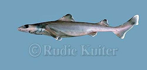 Centrophorus granulosus, le requin-chagrin, porte bien son nom puisqu'il est en danger critique d'extinction. © Rudie Kuiter