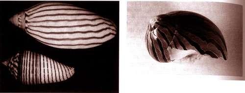 Dans la nature, toutes les formes ne sont pas apparues directement par le biais d'une pression fonctionnelle. Certaines sont en effet des effets collatéraux de la formation d'autres structures. Par exemple, ces mollusques vivent depuis des millions d'années enterrés sous la vase dans l'obscurité au fond de l'océan. Ils ont sur leur coquille des patterns rayés d'une grande symétrie et régularité. Ces structures n'ont pas de fonction, et donc pas de valeur adaptative pour les mollusques, mais sont le résultat de la pigmentation qui se produit lors de la calcification continue et graduelle des cellules sur le bord de la coquille à mesure que celle-ci grandit dans un jeu de division cellulaire dont la dynamique est d'ailleurs très similaire à celle de la fameuse réaction de Beloutzov-Zabotinsky.