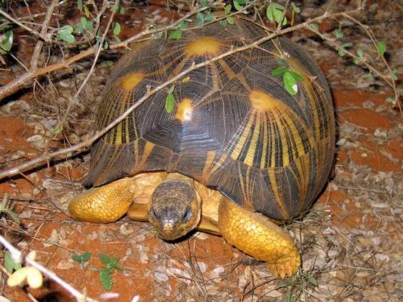 La tortue étoilée apprécie la saison des pluies, au cours de laquelle elle peut plus facilement profiter de la boue. © Ettore Balocchi, Flickr, cc by 2.0