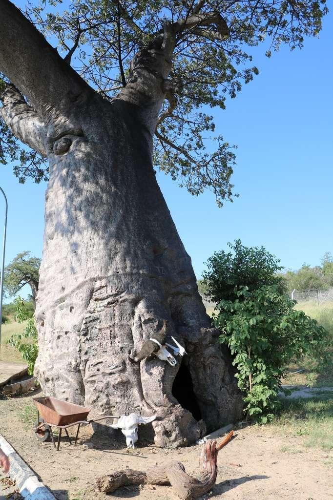 On peut parfois se réfugier dans un vieux baobab ! © ClaraNila, Fotolia