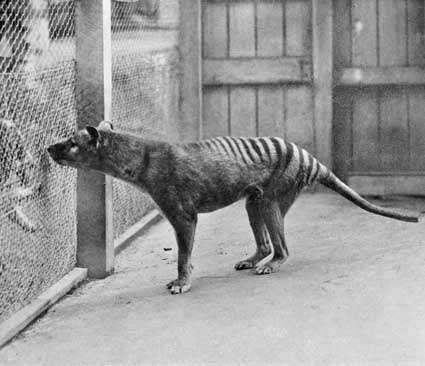 Un tigre de Tasmanie en captivité au zoo de Hobart en 1933. © DP