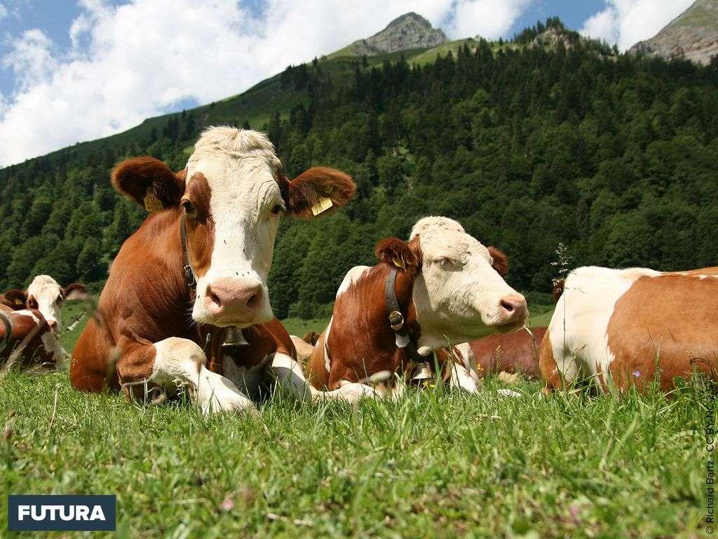 Troupeau de vaches Fleckvieh
