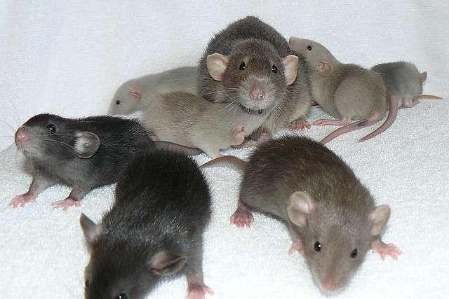 Les jeunes rats mâles produisent plus de protéine Foxp2 que les femelles, et émettent en parallèle davantage de cris d'alerte. Le seul gène aurait donc un rôle important dans le langage. © Braindamaged217, Flickr, cc by nc nd 2.0